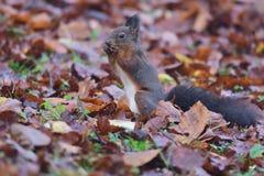 Squirrel sciurine crawly on the trees. Red squirrel sciurine crawly on the trees stock photography