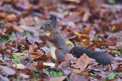 Squirrel sciurine crawly on the trees Royalty Free Stock Image