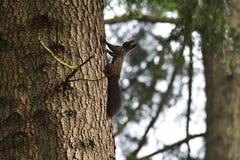 Squirrel sciurine crawly on the trees. Red squirrel sciurine crawly on the trees stock photo