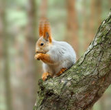 Squirrel ( Sciurus ) Royalty Free Stock Images