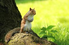 Squirrel Sciurus carolinensis Royalty Free Stock Image