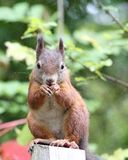 Squirrel (sciurus vulgaris) Stock Image