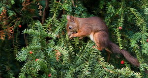 Squirrel (Sciurus vulgaris) Royalty Free Stock Photos