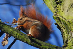 Squirrel - Sciurus vulgaris Royalty Free Stock Images