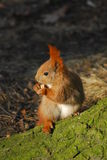 Squirrel - Sciurus vulgaris Stock Image