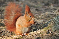 Squirrel - Sciurus vulgaris Stock Images