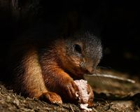 Squirrel, Sciurus vulgaris baby sitting and eating. In morning light royalty free stock photography