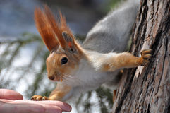 Squirrel hand (Sciurus vulgaris) Stock Photos