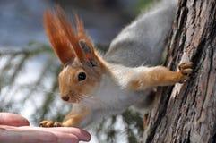 Squirrel hand (Sciurus vulgaris) Stock Photos