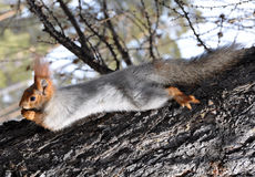 Squirrel (Sciurus vulgaris) Royalty Free Stock Photography