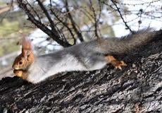 Squirrel (Sciurus vulgaris) Royalty Free Stock Photography