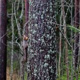 Squirrel Sciurus vulgaris climbing a tree in Finland, Kouvola. Wet and rainy autumn day in the forest Stock Photography