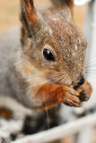 Squirrel Sciurus vulgaris closeup Stock Images
