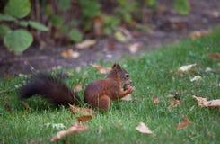 Squirrel (Sciurus vulgaris) Royalty Free Stock Images