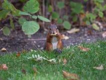Squirrel (Sciurus vulgaris) Stock Photography