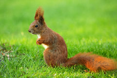 Squirrel (Sciurus vulgaris) left side Stock Photography