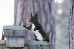 Squirrel Sciurus vulgaris Royalty Free Stock Photo
