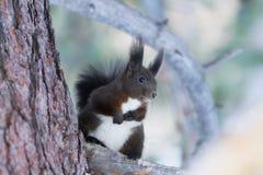 Squirrel Sciurus vulgaris stock image