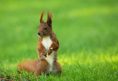 Squirrel (Sciurus vulgaris) stands upright. Red Squirrel (Sciurus vulgaris) sitands upright on thre green grass and looking right. Clearly visible white belly Royalty Free Stock Photo