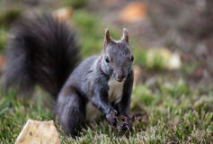 Squirrel (Sciurus vulgaris) Stock Photos