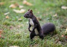 Squirrel (Sciurus vulgaris) Stock Photos