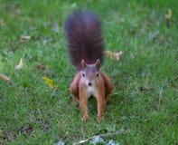 Squirrel (Sciurus vulgaris) Royalty Free Stock Image