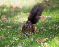 Squirrel (Sciurus vulgaris) Royalty Free Stock Photos