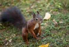 Squirrel (Sciurus vulgaris) Stock Image