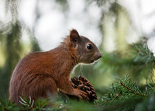 Squirrel (Sciurus vulgaris) Stock Images