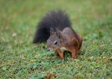 Squirrel (Sciurus vulgaris) Stock Photo