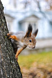 Squirrel Sciurus vulgaris Royalty Free Stock Photography