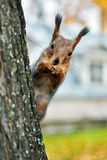 Squirrel Sciurus vulgaris Stock Image