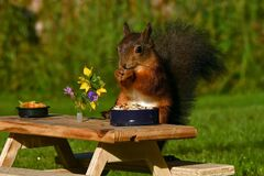 Free Squirrel, Sciurus Vulgaris, Who Got Her Own Breakfast Table With Flowers And Food Served On A Garden Table Stock Image - 192620241
