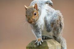 Squirrel Scratch Stock Photo