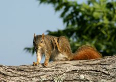 Squirrel scratching. Red fox squirrel scratching on a limb Stock Images