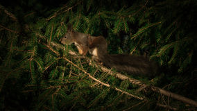 Squirrel scratching himself Stock Image