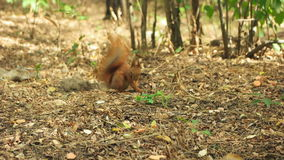 Squirrel scratching his side stock video