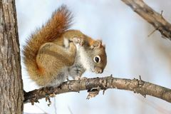 Squirrel scratching in nature Royalty Free Stock Image