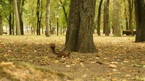 Squirrel in Search of Food in the Park stock footage
