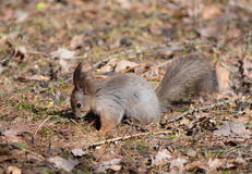 The squirrel searches for meal Royalty Free Stock Images