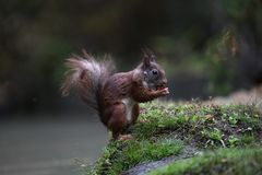 Squirrel searching for food and found a hazelnut to eat. Summer 2018, squirrel searching for food and found a hazelnut to eat in the forest called De Loonse en stock image