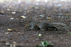 Squirrel searching food. A gray squirrel searching food in Hyde Park London Royalty Free Stock Photography