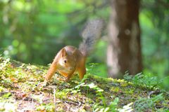 Squirrel searching for food Stock Image