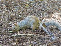 Squirrel searching food in nature. Image of one squirrel searching its food after to dig it Royalty Free Stock Image
