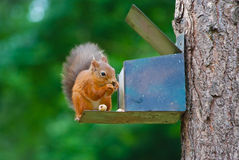 Squirrel searching for food. Royalty Free Stock Photography