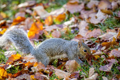 Squirrel searching through leaves. Royalty Free Stock Photography