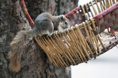 Squirrel seek for food in the Wicker baskets on the tree. Animals Found in Tropical Regions royalty free stock photo