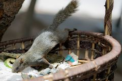Squirrel seek for food in the Wicker baskets on the tree. In the park stock photo