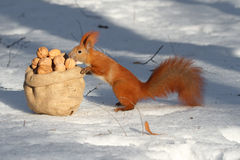 Squirrel selects walnuts Royalty Free Stock Photo