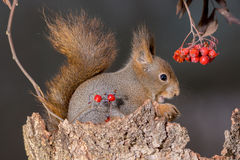 Squirrel and the shadow berries Royalty Free Stock Photos